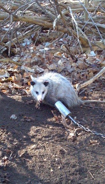 2012-04-12 Adam trap line oppossum.jpg