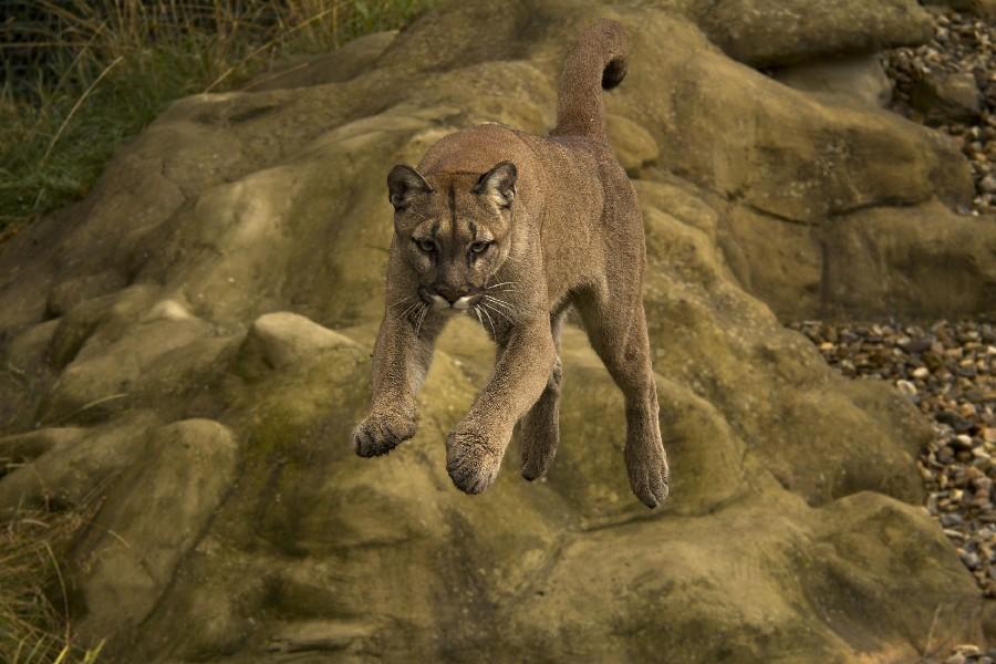 24x36inch-Puma-Cougar-font-b-Mountain-b-font-font-b-Lion-b-font-Animal-Poster-Fabric.jpg