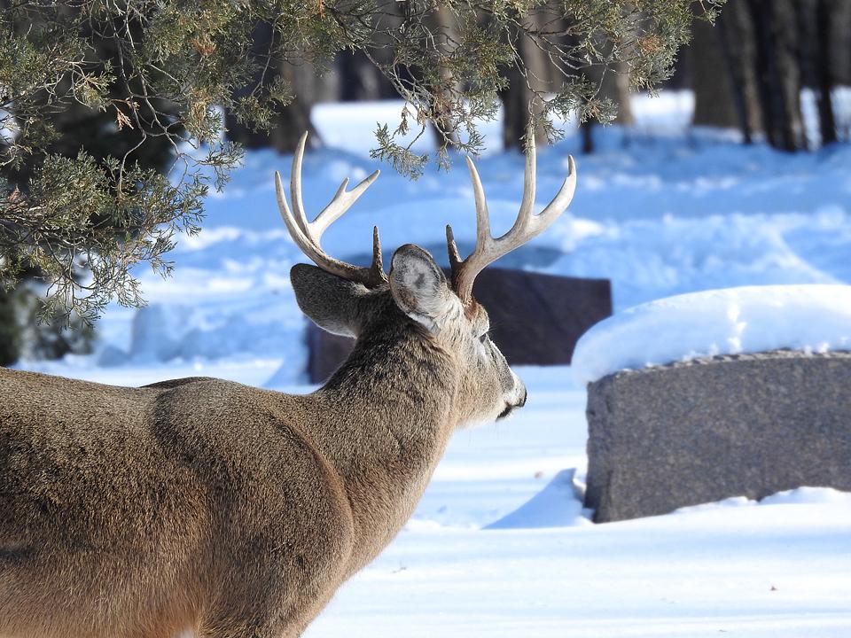 Deer5x4.jpg