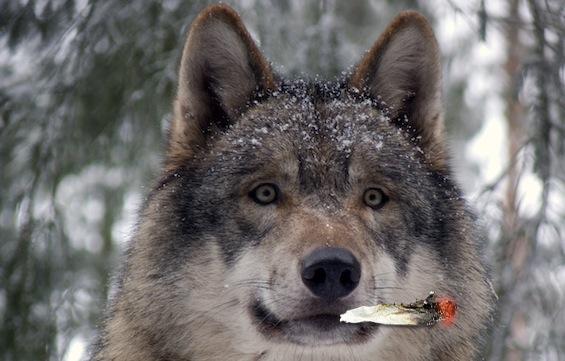 Grey_wolf_GunnarRiesAmphibol.jpg